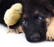 Cute little chicken and puppy german shepherd dog Royalty Free Stock Image