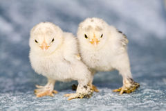 Cute little chickens Royalty Free Stock Photos