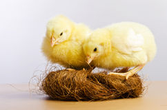 Cute little chicks Stock Photography
