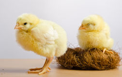 Cute little chicks. In nest Stock Photos
