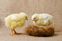 Cute little chicks Stock Photos