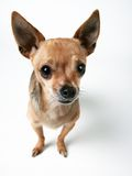 Cute little chihuahua. A cute little chihuahua looking at the camera Stock Photo