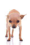 Cute little chihuahua baby looking Royalty Free Stock Photo