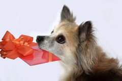 Cute little chihuahua dog with gift in his snout. Portrait of a senior chihuahua dog twelve years old with trusting look bringing voucher or birthday gift stock images