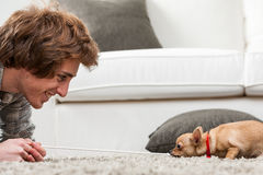 Cute little chihuahua playing tug of war Royalty Free Stock Photography