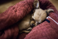 Cute little chihuahua puppy sleeps in home Stock Photos