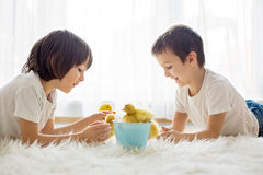 Cute little children, boy brothers, playing with duckling spring Royalty Free Stock Photos