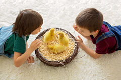 Cute little children, boy brothers, playing with ducklings sprin Stock Image