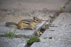 Cute little chipmunk looking at the camera stock image