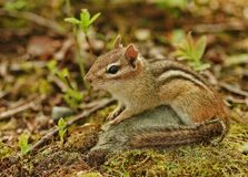 Cute little chipmunk lounging Royalty Free Stock Photography