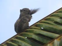 Cute Chipmunk on green grass in Sri Lanka stock photography