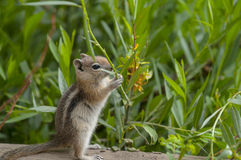 Cute little Chipmunk Stock Photos