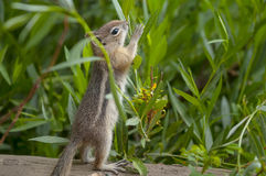 Cute little Chipmunk Royalty Free Stock Images