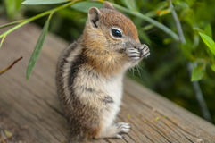 Cute little Chipmunk Stock Image