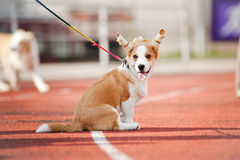 Cute little corgi puppy Stock Photography