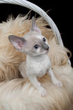 Cute Little Cornish Rex Kitten in Basket with Fur. A cute little Cornish Rex kitten with blue eyes in a basket with fur against a black background Royalty Free Stock Photo