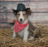 Cute Little Cowboy Puppy. Little Sheltie puppy dressed up in a cowboy outfit in a barn scene Royalty Free Stock Photo