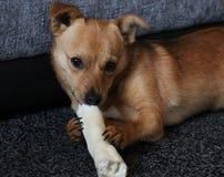 Cute little crossbreed jackaranian dog with treat. stock photo