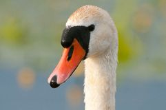 Mute swan Stock Photography
