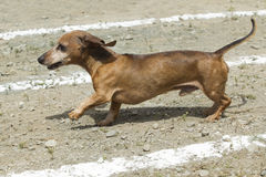 Cute little Dachsund in race. Royalty Free Stock Photo
