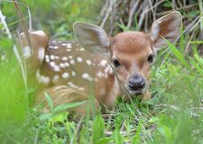 Cute little deer Royalty Free Stock Photos