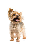 Cute little dog. Stock Images