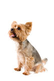Cute little dog. Royalty Free Stock Images