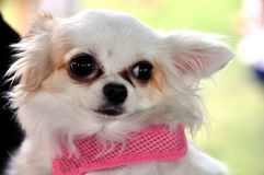 Cute little dog. A cute little dog with pink decoration Stock Photography