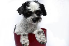 Cute little dog with big eyes in flower pot. Mixed-breed dog between shih tzu and maltese dog  with big astonished eyes tries to climb out of a red flowerpot Royalty Free Stock Images
