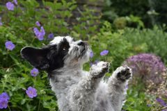 Cute little dog with big eyes and flying ears. Mixed-breed dog between shih tzu and maltese dog playing in the garden Stock Image