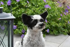 Cute little dog with big eyes and flying ears. Mixed-breed dog between shih tzu and maltese dog  sitting  in the garden Stock Images