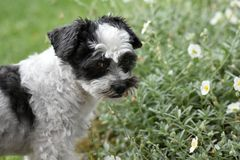 Cute little dog with big eyes. Mixed-breed dog between shih tzu and maltese dog   in the garden Royalty Free Stock Image