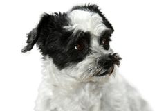 Cute little dog with big eyes. Mixed-breed dog between shih tzu and maltese dog  with big astonished eyes lying on the floor Stock Image