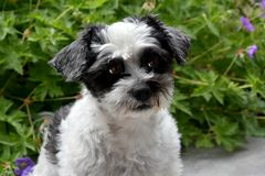 Cute little dog with big eyes. Mixed-breed dog between shih tzu and maltese dog   sitting in the garden Stock Photography