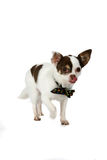 Cute little dog with bow tie Royalty Free Stock Photo