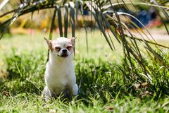 Cute little dog Chihuahua smiles in grass under palm tree resting on hot sunny summer day. copy space stock photos