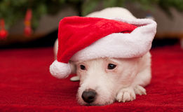 Cute Little Dog with Christmas Hat Stock Photography