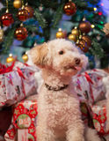 Cute little dog. With Christmass tree and presents Stock Photo