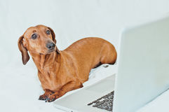Cute little dog with computer on white Royalty Free Stock Photo