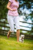 Cute little dog doing agility drill Royalty Free Stock Photography