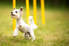 Cute little dog doing agility drill - running slalom Stock Photos