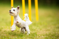Cute little dog doing agility drill - running slalom Stock Images