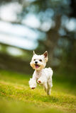 Cute little dog doing agility drill - running slalom. Being obediend and making his master proud and happy Royalty Free Stock Image