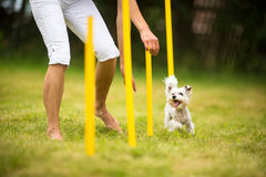 Cute little dog doing agility drill - running slalom. Being obediend and making his master proud and happy Stock Images