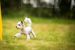 Cute little dog doing agility drill - running slalom Stock Photos