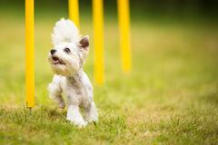 Cute little dog doing agility drill - running slalom Stock Photography