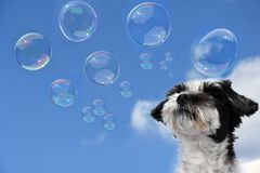 Cute little dog  is fascinated by soap bubbles. Puppy in wonderland , mixed-breed dog between shih tzu and maltese dog   watching soap bubbles Royalty Free Stock Photos
