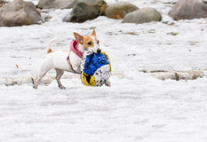 Cute little dog fetching destroyed big ball. Small Jack Russell Terrier playing with a toy Stock Images