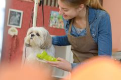 Cute little dog at groomer salon. Grooming royalty free stock photos