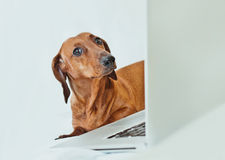 Cute little dog looking with irony at camer with laptop. Funny portrait of a dog looking with suspicion or irony at camera with a laptop shot on white Royalty Free Stock Photography